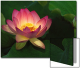 Lotus Flower, Echo Park Lake, Los Angeles, CA Art by David Carriere