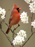 Male Northern Cardinal Art by Adam Jones