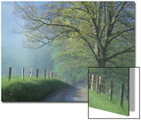 Foggy Road and Oak, Cades Cove, Great Smoky Mountains National Park, Tennessee, USA Posters by Darrell Gulin