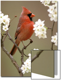 Male Northern Cardinal Posters by Adam Jones