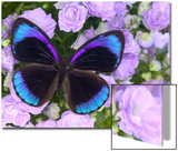 Blue and Black Butterfly on Lavender Flowers, Sammamish, Washington, USA ポスター : ダリル・グリン