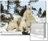 Polar Bear (Ursus Maritimus) Mother with Triplets, Wapusk National Park, Churchill, Manitoba Posters by Thorsten Milse