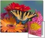 Eastern Tiger Swallowtail Female on Gerber Daisies, Sammamish, Washington, USA Plakater av Darrell Gulin