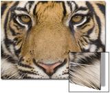 Bengal Tiger, (Panthera Tigris Tigris), Bandhavgarh, Madhya Pradesh, India Print by Thorsten Milse
