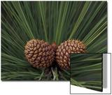 Pair of Pine Cones in Nevada State Park, Lake Tahoe, USA Poster by Adam Jones