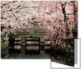 Alberi di ciliegio in fiore, tempio di Mishima Taisha, Shizuoka Poster