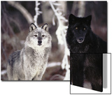 Grey Wolves Showing Fur Colour Variation, (Canis Lupus) Print by Tom Vezo