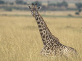 Masai Giraffe Resting on the Savanna, Giraffa Camelopardalis, Masai Mara, Kenya, Africa Photographic Print by John & Barbara Gerlach