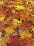 Maple Leaves, Acer, on Autumn Eastern Deciduous Forest Floor, USA Photographic Print by Adam Jones