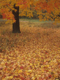 Fall Maple Leaves on the Forest Floor (Acer), Eastern USA Photographic Print by Robert Domm