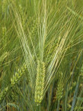 Barley Flowers (Hordeum Vulgare) Photographic Print by Walt Anderson