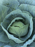 Cabbage, Brassica Oleracea Photographic Print by Ed Webber