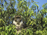 Sykes Monkey in a Tree, Cercopithecus Mitis, Kenya, Africa Photographic Print by John & Barbara Gerlach