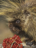 Porcupine Face, Erethizon Dorsatum, North America Photographic Print by Joe McDonald