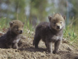 Coyote Pups at their Den Opening, Canis Latrans, North America Photographic Print by Joe McDonald