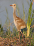 Sandhill Crane Chick in the Nest (Grus Canadensis), Florida, USA Photographic Print by Arthur Morris