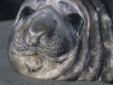 Southern Elephant Seal Face, Mirounga Leonina, South Georgia Islands, Antarctica Region Photographic Print by Gerald & Buff Corsi