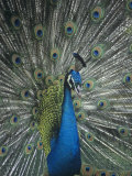 Male Peacock Displaying, Pavo Cristatus Photographic Print by Cheyenne Rouse