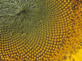 Close-Up of a Sunflower with Ripening Seeds, Helianthus Annuus Photographic Print by David Cavagnaro