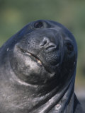 Southern Elephant Seal Face, Mirounga Leonina, South Georgia Islands, Antarctic Region Photographic Print by Gerald & Buff Corsi