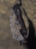 Little Brown Bat Hibernating in a Cave (Myotis Lucifigus), North America Photographic Print by Joe McDonald
