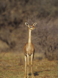 Doe Gerenuk (Litocranius Walleri), Samburu, Kenya, Africa Photographic Print by Mary Ann McDonald