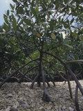 Red Mangrove Prop Roots (Rhizophora Mangle), Florida, USA Photographic Print by Rick Poley
