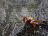 Sally Lightfoot Crab, Grapsus Grapsus, Santa Cruz, Galapagos Islands, Ecuador Photographic Print by Arthur Morris