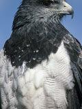 Eagle-Buzzard Head, Geranoaetus Melanoleucus, Ecuador, South America Photographic Print by Joe McDonald