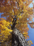Sugar Maple in Fall Colors, Acer Saccharum, Eastern North America Photographic Print by David Cavagnaro