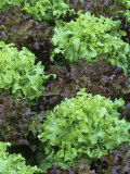 Rebosa and Chene Blonde Varieties of Lettuce, Lactuca Sativa Photographic Print by David Cavagnaro
