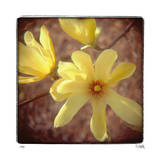 Yellow Magnolia Limited Edition by Rebecca Tolk