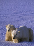 Polar Bear with its First-Year Cub (Ursus Maritimus), North America Photographic Print by Tom Walker