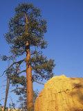Ponderosa Pine (Pinus Ponderosa), Western North America Photographic Print by Mark Schneider
