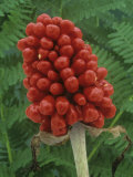 Seeds or Fruit of Jack-In-The-Pulpit (Arisaema Stewardsonii) Photographic Print by Wally Eberhart