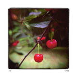 Jacquie's Cherries Giclee Print by Rebecca Tolk