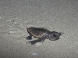 Recently Hatched Loggerhead Sea Turtle (Caretta Caretta) Crawling to the Sea from its Nesting Site Photographic Print by Rick Poley