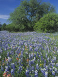 Meadow of Paintbrush and Texas Bluebonnet Spring Wildflowers, Hill Country, Texas, USA Photographic Print by Adam Jones