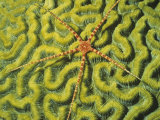 Brittle Star on a Brain Coral Green with Zooanthellae Algae. Fiji Photographic Print by Hal Beral