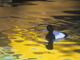 Male Lesser Scaup Duck Swimming in Water with Fall Color Reflections, Aythya Affinis, North America Photographic Print by Arthur Morris