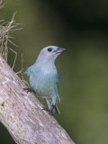Blue-Gray Tanager (Thraupis Episcopus), Venezuela, South America Photographie par Rob & Ann Simpson