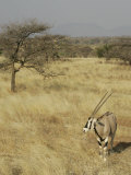 Oryx in its Savanna Habitat, Oryx Beisa, Samburu, Kenya, Africa Photographic Print by Arthur Morris
