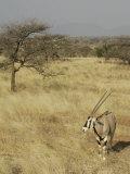 Oryx in its Savanna Habitat, Oryx Beisa, Samburu, Kenya, Africa Photographic Print by Arthur Morris