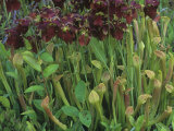 Pitcher Plants in Flower, Sarracenia Rubra, Eastern USA Photographic Print by David Sieren