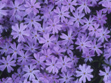 Moss Pink or Creeping Phlox Flowers, Phlox Subulata Photographic Print by David Sieren
