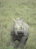 White Rhinoceros Calf, Ceratotherium Simum, an Endangered Species, Kenya, Africa Photographic Print by Joe McDonald