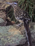 Greater Roadrunner, Geococcyx Californianus, Southwestern USA Photographic Print by Joe McDonald