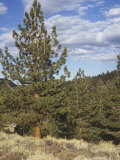 Jeffrey Pines (Pinus Jeffreyi), California, USA Photographic Print by Walt Anderson