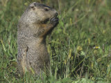 Woodchuck or Groundhog, Marmota Monax, Eating, North America Photographic Print by Joe McDonald