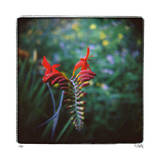 Crocosmia Limited Edition by Rebecca Tolk